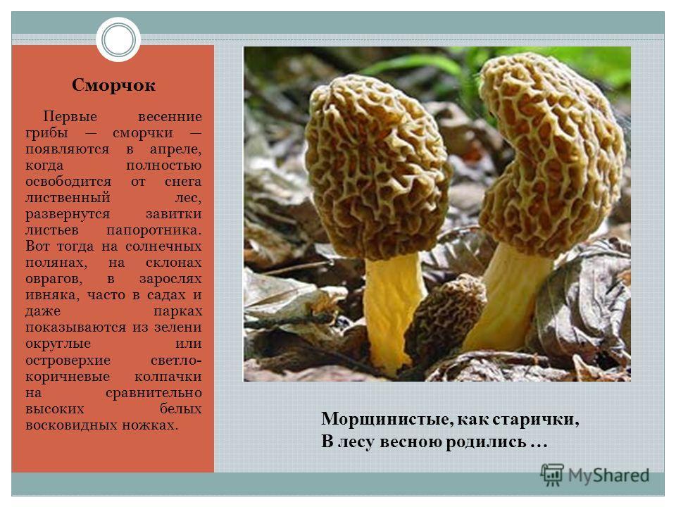 Морщинистые, как старички, В лесу весною родились … Сморчок Первые весенние грибы сморчки появляются в апреле, когда полностью освободится от снега лиственный лес, развернутся завитки листьев папоротника. Вот тогда на солнечных полянах, на склонах ов
