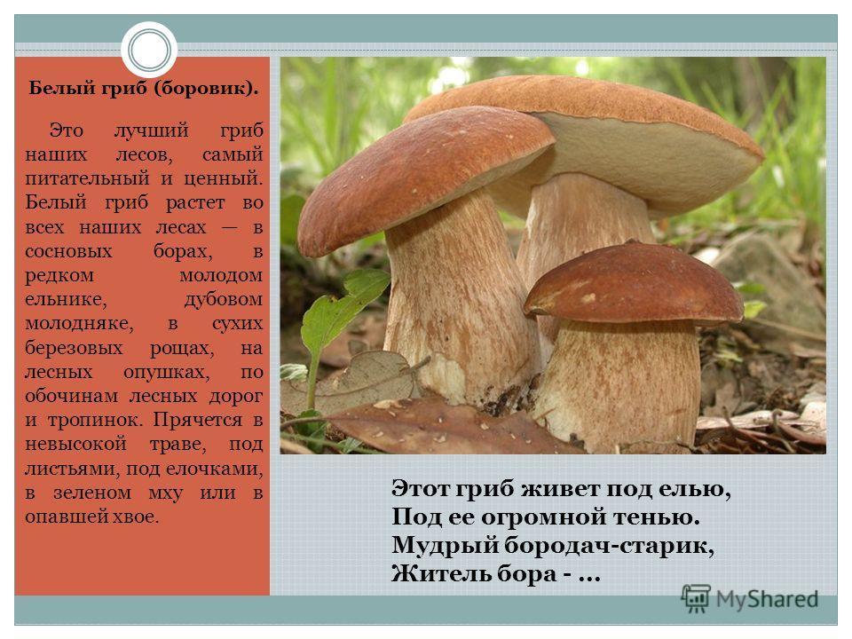 Этот гриб живет под елью, Под ее огромной тенью. Мудрый бородач-старик, Житель бора -... Белый гриб (боровик). Это лучший гриб наших лесов, самый питательный и ценный. Белый гриб растет во всех наших лесах в сосновых борах, в редком молодом ельнике,