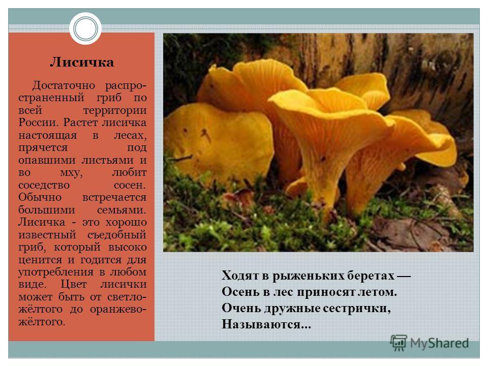 Ходят в рыженьких беретах Осень в лес приносят летом. Очень дружные сестрички, Называются... Лисичка Достаточно распространенный гриб по всей территории России. Растет лисичка настоящая в лесах, прячется под опавшими листьями и во мху, любит соседств