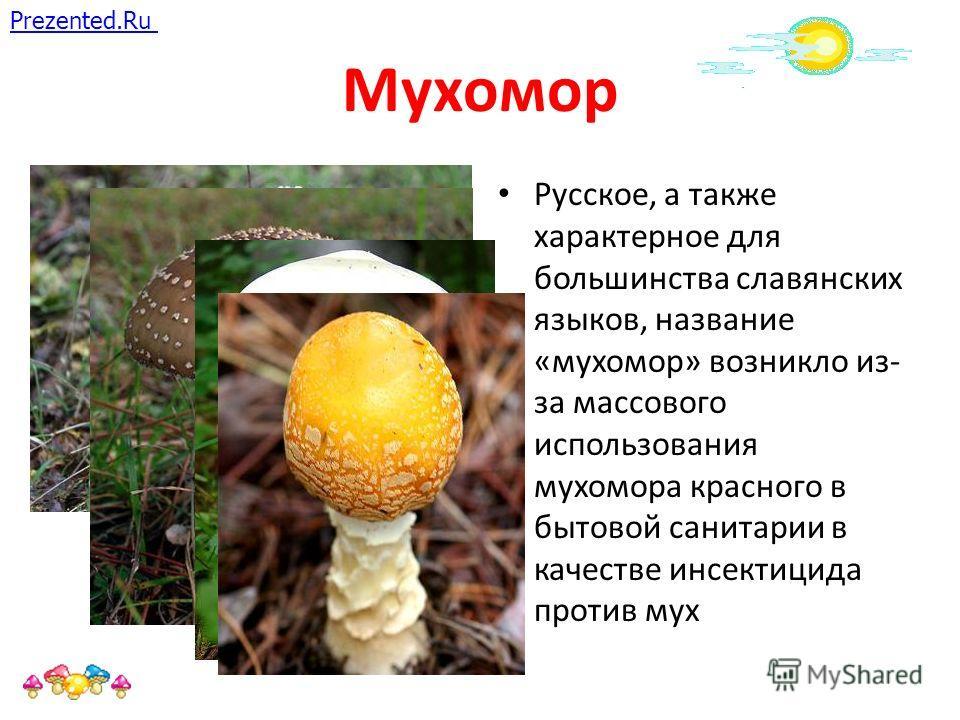 Мухомор Русское, а также характерное для большинства славянских языков, название «мухомор» возникло из- за массового использования мухомора красного в бытовой санитарии в качестве инсектицида против мух Prezented.Ru