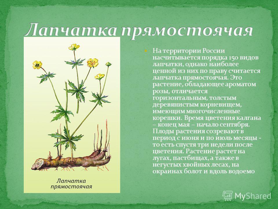 На территории России насчитывается порядка 150 видов лапчатки, однако наиболее ценной из них по праву считается лапчатка прямостоячая. Это растение, обладающее ароматом розы, отличается горизонтальным, толстым деревянистым корневищем, имеющим многочи