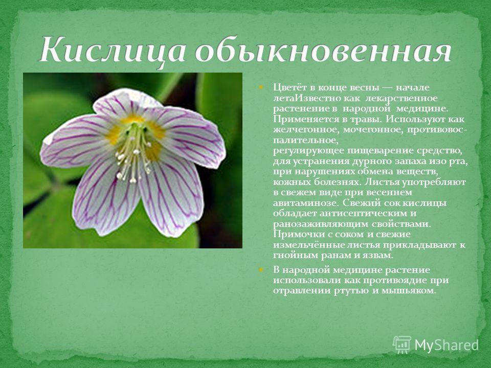 Цветёт в конце весны начале лета Известно как лекарственное растенение в народной медицине. Применяется в травы. Используют как желчегонное, мочегонное, противовос- палительное, регулирующее пищеварение средство, для устранения дурного запаха изо рта
