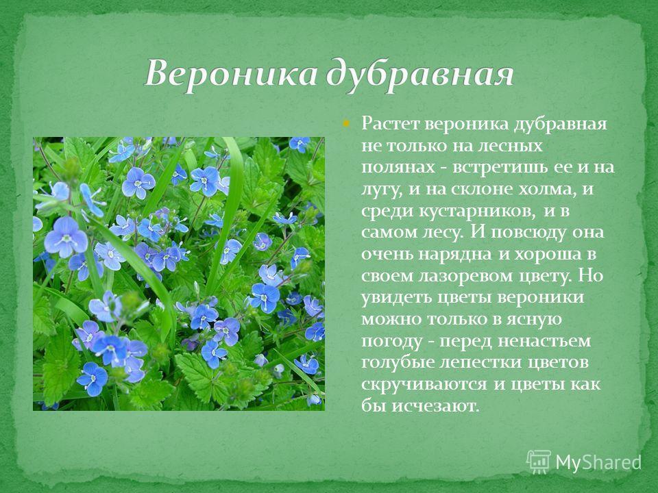 Растет вероника дубравная не только на лесных полянах - встретишь ее и на лугу, и на склоне холма, и среди кустарников, и в самом лесу. И повсюду она очень нарядна и хороша в своем лазоревом цвету. Но увидеть цветы вероники можно только в ясную погод