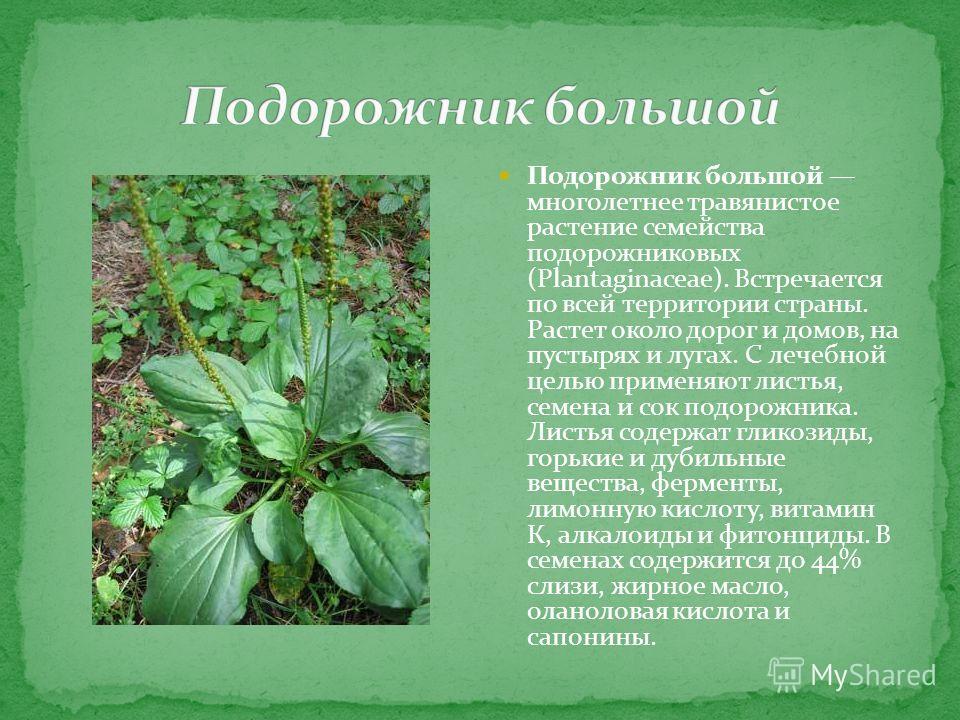 Подорожник большой многолетнее травянистое растение семейства подорожниковых (Plantaginaceae). Встречается по всей территории страны. Растет около дорог и домов, на пустырях и лугах. С лечебной целью применяют листья, семена и сок подорожника. Листья