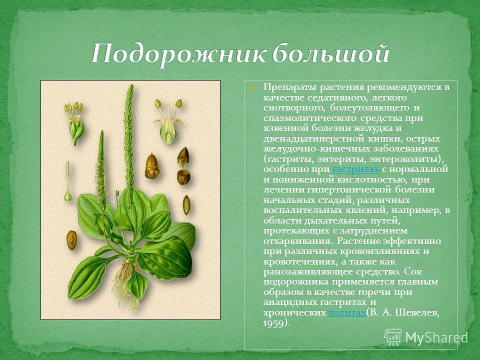 Препараты растения рекомендуются в качестве седативного, легкого снотворного, болеутоляющего и спазмолитического средства при язвенной болезни желудка и двенадцатиперстной кишки, острых желудочно-кишечных заболеваниях (гастриты, энтериты, энтероколит