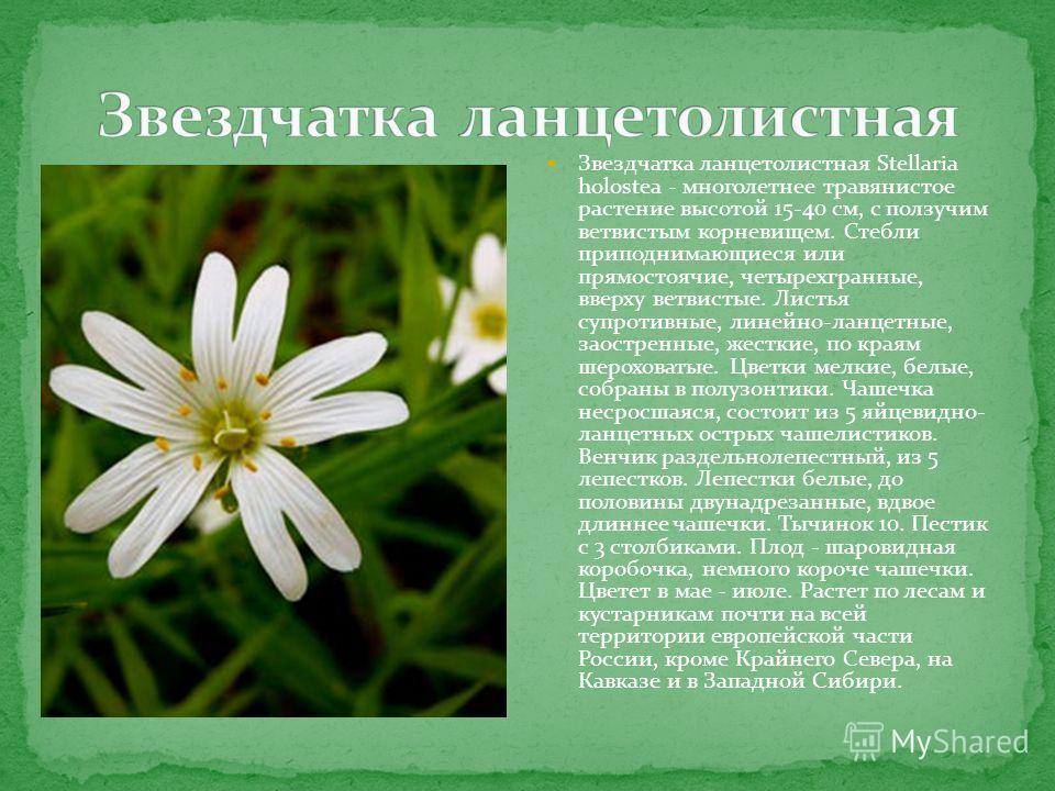 Звездчатка ланцетолистная Stellaria holostea - многолетнее травянистое растение высотой 15-40 см, с ползучим ветвистым корневищем. Стебли приподнимающиеся или прямостоячие, четырехгранные, вверху ветвистые. Листья супротивные, линейно-ланцетные, заос