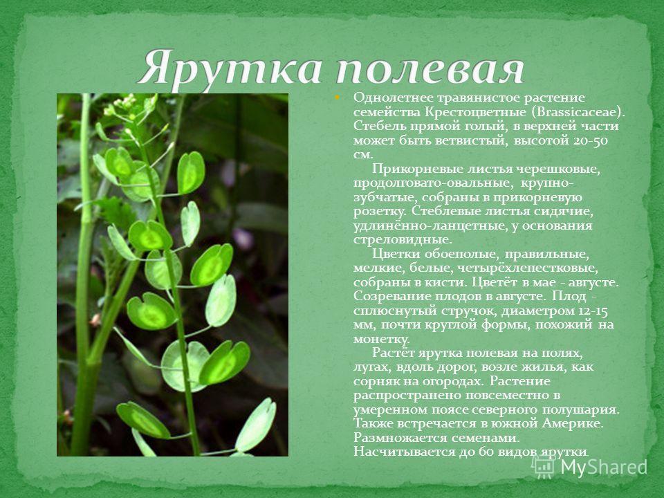 Однолетнее травянистое растение семейства Крестоцветные (Brassicaceae). Стебель прямой голый, в верхней части может быть ветвистый, высотой 20-50 см. Прикорневые листья черешковые, продолговато-овальные, крупно- зубчатые, собраны в прикорневую розетк