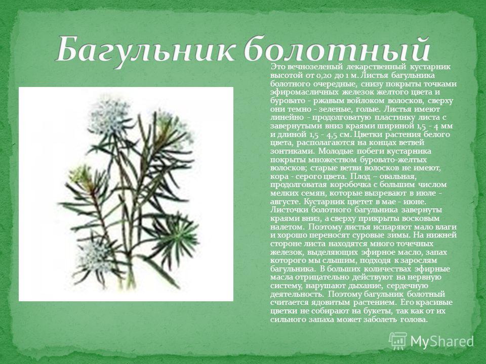 Это вечнозеленый лекарственный кустарник высотой от 0,20 до 1 м. Листья багульника болотного очередные, снизу покрыты точками эфиромасличных железок желтого цвета и буровато - ржавым войлоком волосков, сверху они темно - зеленые, голые. Листья имеют