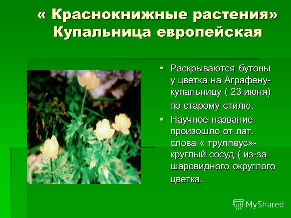 « Краснокнижные растения» Купальница европейская Раскрываются бутоны у цветка на Аграфену- купальницу ( 23 июня) Раскрываются бутоны у цветка на Аграфену- купальницу ( 23 июня) по старому стилю. по старому стилю. Научное название произошло от лат. сл