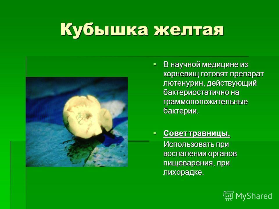 Кубышка желтая В научной медицине из корневищ готовят препарат лютенурин, действующий бактериостатично на грамположительные бактерии. В научной медицине из корневищ готовят препарат лютенурин, действующий бактериостатично на грамположительные бактери