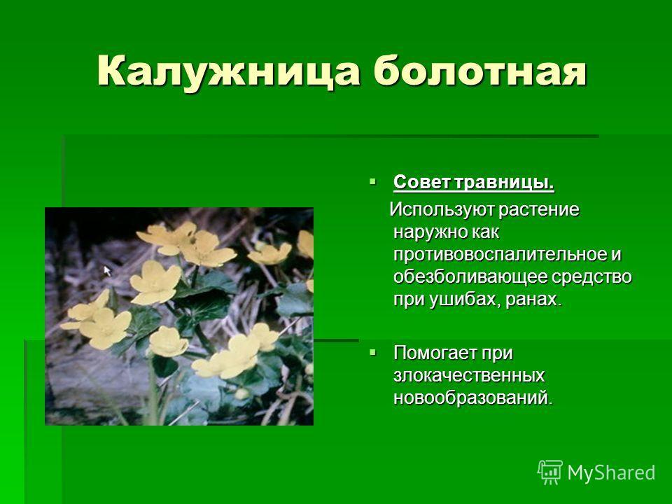 Калужница болотная Совет травницы. Совет травницы. Используют растение наружно как противовоспалительное и обезболивающее средство при ушибах, ранах. Используют растение наружно как противовоспалительное и обезболивающее средство при ушибах, ранах. П