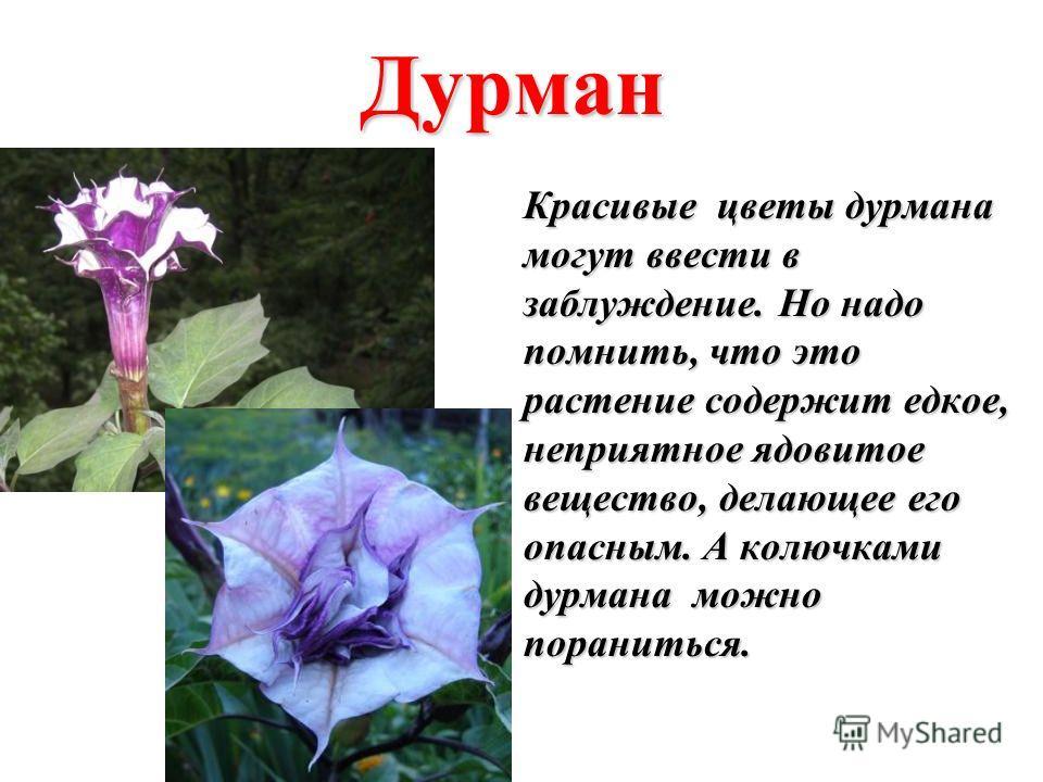 Дурман Красивые цветы дурмана могут ввести в заблуждение. Но надо помнить, что это растение содержит едкое, неприятное ядовитое вещество, делающее его опасным. А колючками дурмана можно пораниться.
