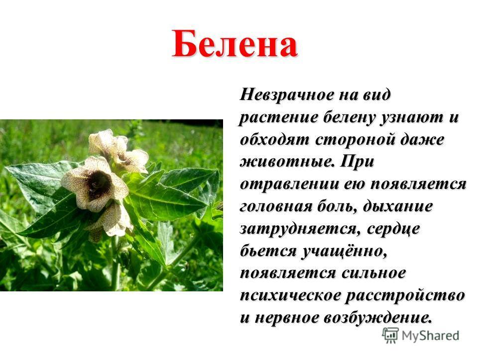 Белена Невзрачное на вид растение белену узнают и обходят стороной даже животные. При отравлении ею появляется головная боль, дыхание затрудняется, сердце бьется учащённо, появляется сильное психическое расстройство и нервное возбуждение.