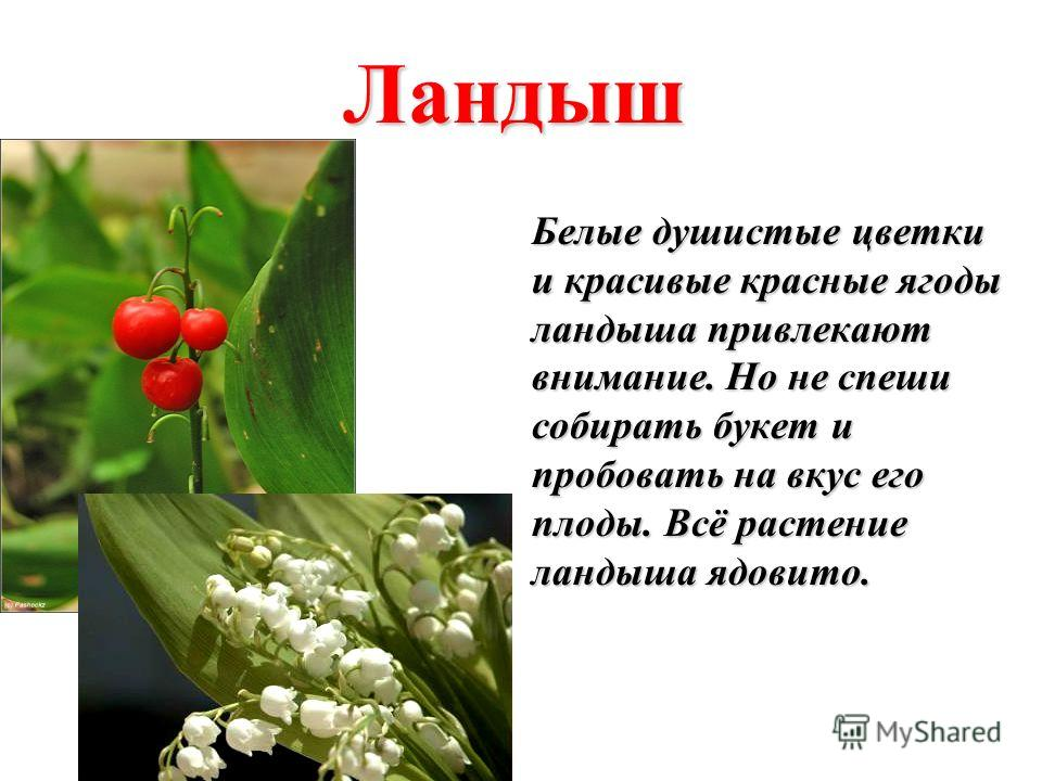 Ландыш Белые душистые цветки и красивые красные ягоды ландыша привлекают внимание. Но не спеши собирать букет и пробовать на вкус его плоды. Всё растение ландыша ядовито.