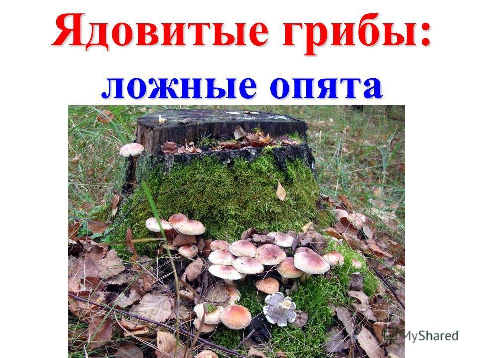Ядовитые грибы: ложные опята