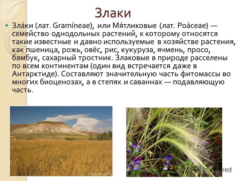 Злаки Злаки ( лат. Gramíneae), или Мятликовые ( лат. Poáceae) семейство однодольных растений, к которому относятся такие известные и давно используемые в хозяйстве растения, как пшеница, рожь, овёс, рис, кукуруза, ячмень, просо, бамбук, сахарный трос