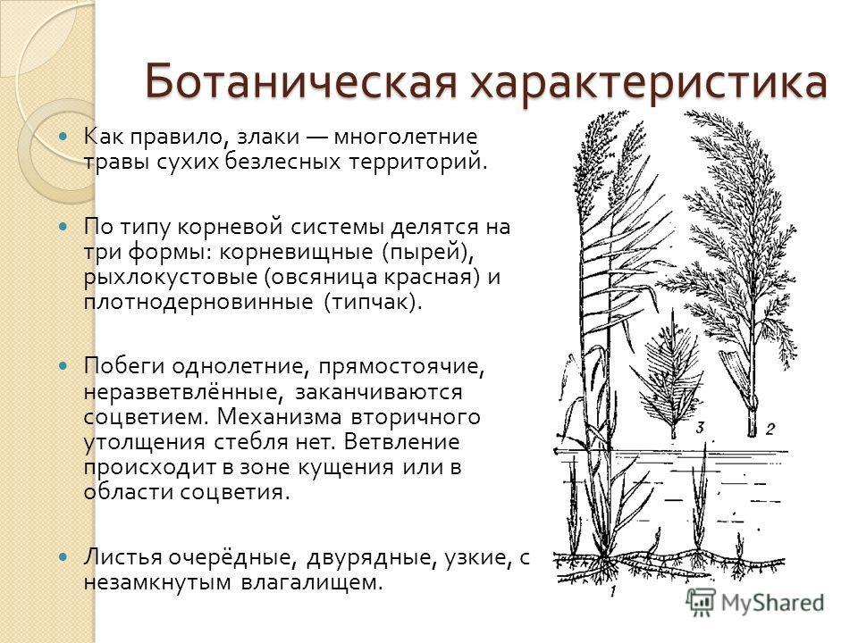 Ботаническая характеристика Как правило, злаки многолетние травы сухих безлесных территорий. По типу корневой системы делятся на три формы : корневищные ( пырей ), рыхлокустовые ( овсяница красная ) и плотнодерновинные ( типчак ). Побеги однолетние,