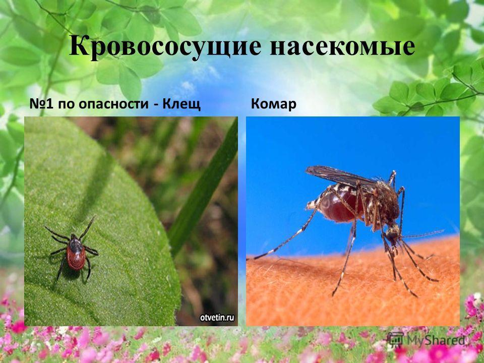 Кровососущие насекомые 1 по опасности - Клещ Комар