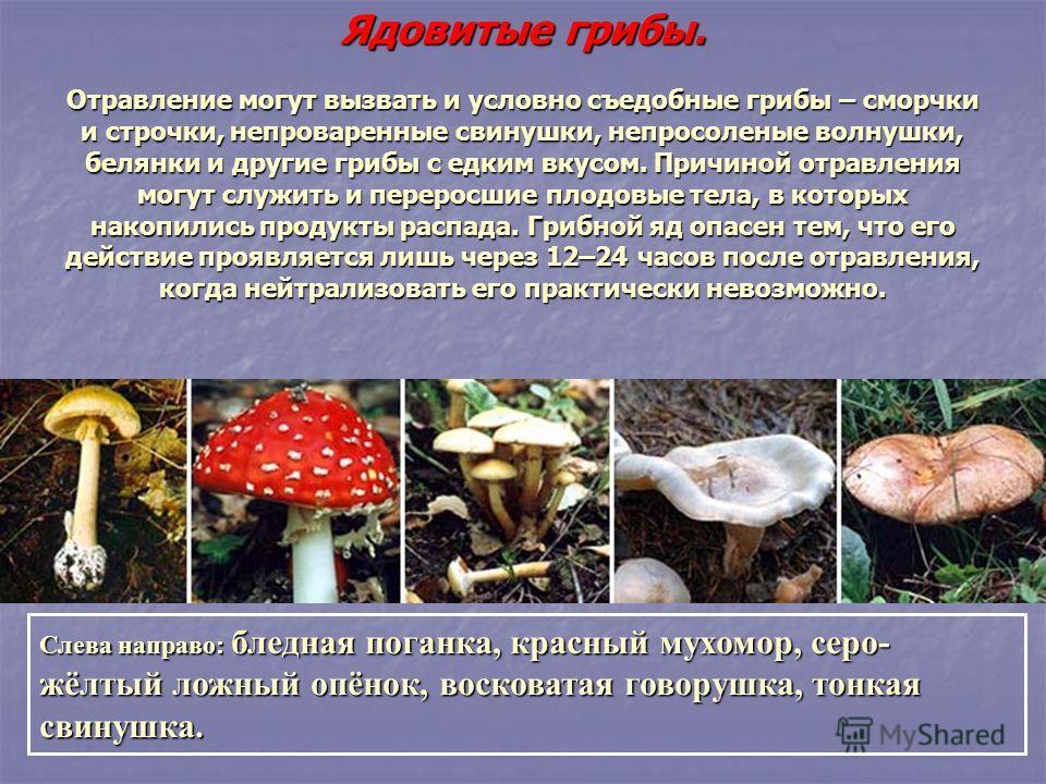 Ядовитые грибы. Отравление могут вызвать и условно съедобные грибы – сморчки и строчки, непроверенные свинушки, не про соленые волнушки, белянки и другие грибы с едким вкусом. Причиной отравления могут служить и переросшие плодовые тела, в которых на