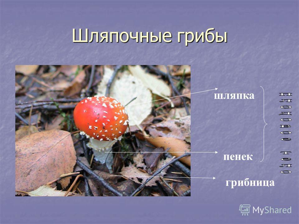 Шляпочные грибы шляпка пенек грибница