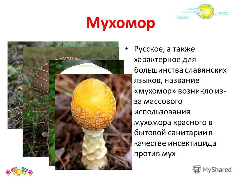 Мухомор Русское, а также характерное для большинства славянских языков, название «мухомор» возникло из- за массового использования мухомора красного в бытовой санитарии в качестве инсектицида против мух