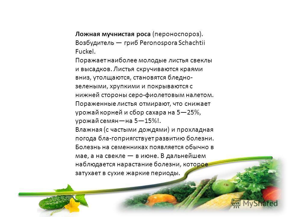 Ложная мучнистая роса (пероноспороз). Возбудитель гриб Peronospora Schachtii Fuckel. Поражает наиболее молодые листья свеклы и высадков. Листья скручиваются краями вниз, утолщаются, становятся бледно- зеленими, хрупкими и покрываются с нижней сторон