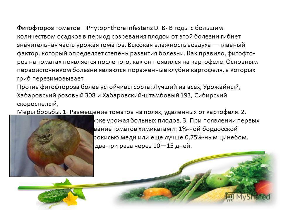 Фитофтороз томатовPhytophthora infestans D. В- В годы с большим количеством осадков в период созревания плодов от этой болезни гибнет значительная часть урожая томатов. Высокая влажность воздуха главный фактор, который определяет степень развития бол