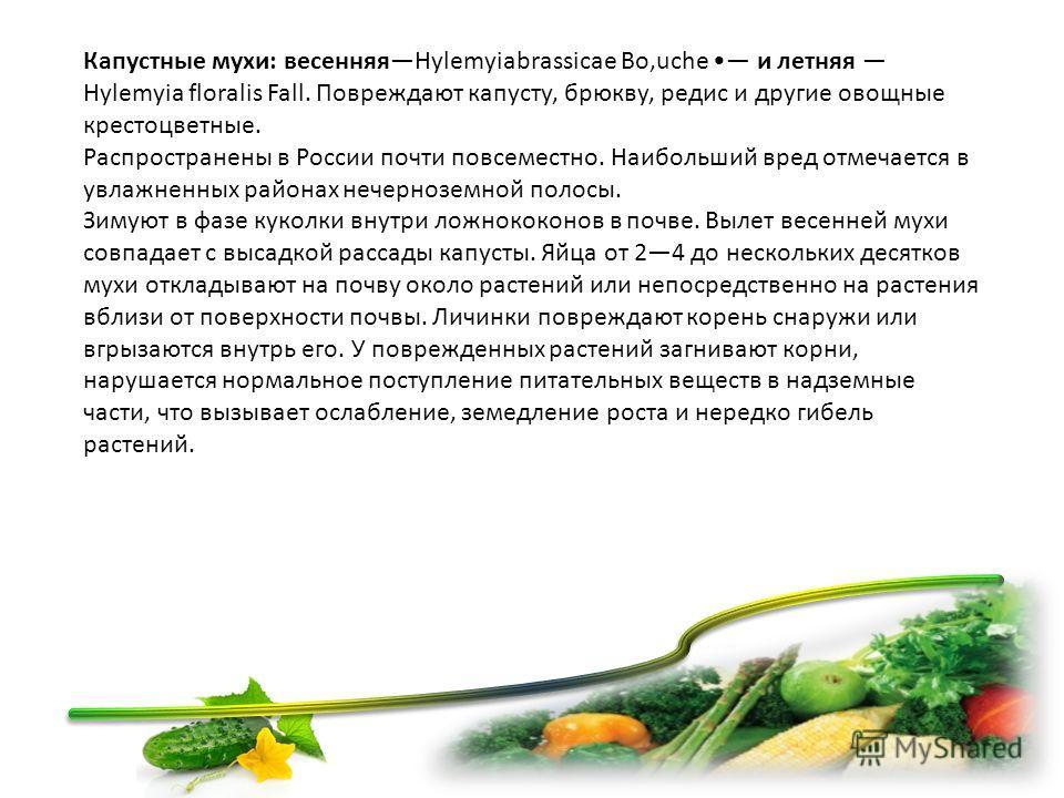 Капустные мухи: весенняяHylemyiabrassicae Bo,uche и летняя Hylemyia floralis Fall. Повреждают капусту, брюкву, редис и другие овощные крестоцветные. Распространены в России почти повсеместно. Наибольший вред отмечается в увлажненных районах нечернозе