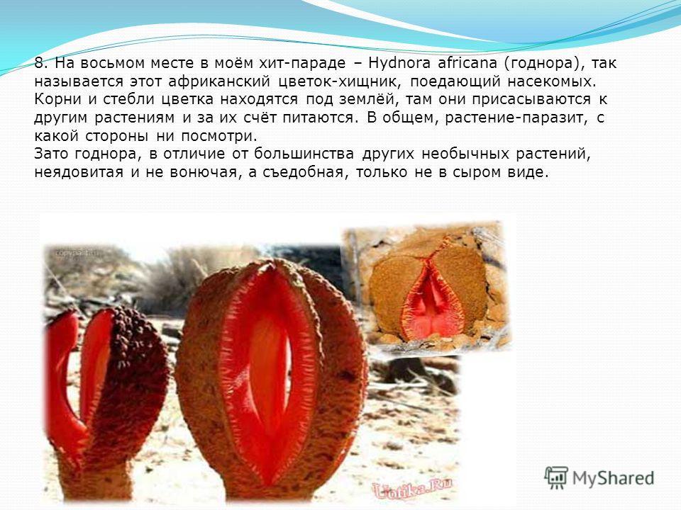 9. Девятое место в хит-параде необычных растений занимает растение с названием пор кубинский томат. Я считаю, что совершенно напрасно это растение назвали томатом. Цветок хоть и красивый, но на томат ничуть не похож, и весь усыпан ядовитыми колючками