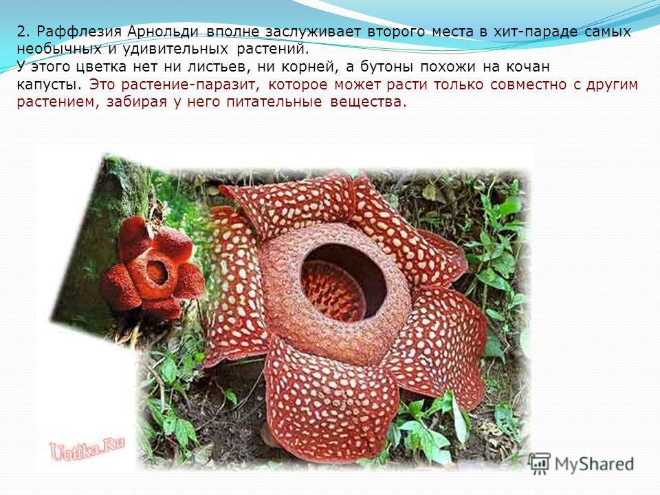 3. Морской гриб анемон. Друзья, это не цветок, а гриб, который называется «Морской анемон». В нём совсем не варенье, а очень вонючее отдающий мертвечиной ядовитое вещество, из-за которого вам даже не захочется подходить к нему близко. Люди от этого з
