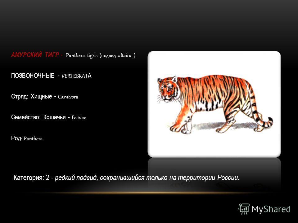 АМУРСКИЙ ТИГР - Panthera tigris (подвид altaica ) ПОЗВОНОЧНЫЕ - VERTEBRAT A Отряд: Хищные - Carnivora Семейство: Кошачьи - Felidae Род : Panthera Категория: 2 - редкий подвид, сохранившийся только на территории России.