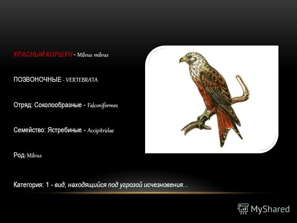 КРАСНЫЙ КОРШУН - Milvus milvus ПОЗВОНОЧНЫЕ - VERTEBRATA Отряд: Соколообразные - Falconiformes Семейство: Ястребиные - Accipitridae Род : Milvus Категория: 1 - вид, находящийся под угрозой исчезновения...