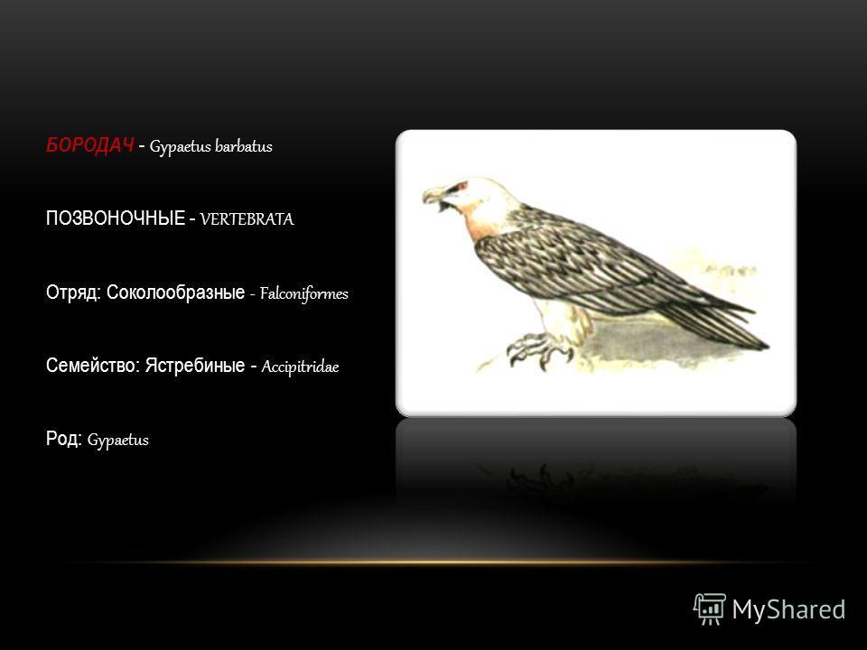 БОРОДАЧ - Gypaetus barbatus ПОЗВОНОЧНЫЕ - VERTEBRATA Отряд: Соколообразные - Falconiformes Семейство: Ястребиные - Accipitridae Род: Gypaetus