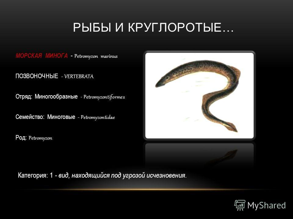 РЫБЫ И КРУГЛОРОТЫЕ… МОРСКАЯ МИНОГА - Petromyzon marinus ПОЗВОНОЧНЫЕ - VERTEBRATA Отряд: Миногообразные - Petromyzontiformes Семейство: Миноговые - Petromyzontidae Род: Petromyzon Категория: 1 - вид, находящийся под угрозой исчезновения.
