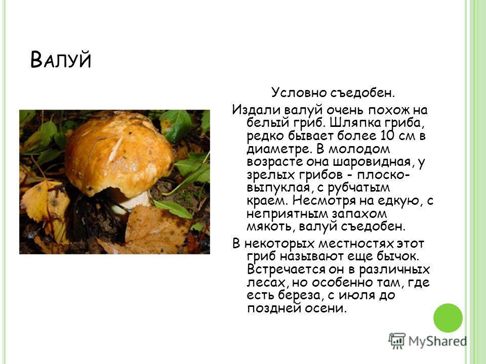 В АЛУЙ Условно съедобен. Издали валуй очень похож на белый гриб. Шляпка гриба, редко бывает более 10 см в диаметре. В молодом возрасте она шаровидная, у зрелых грибов - плоско- выпуклая, с рубчатым краем. Несмотря на едкую, с неприятным запахом мякот