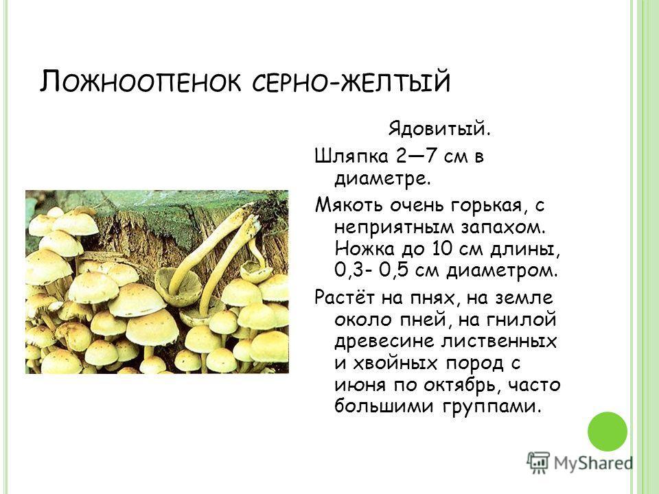Л ОЖНООПЕНОК СЕРНО - ЖЕЛТЫЙ Ядовитый. Шляпка 27 см в диаметре. Мякоть очень горькая, с неприятным запахом. Ножка до 10 см длины, 0,3- 0,5 см диаметром. Растёт на пнях, на земле около пней, на гнилой древесине лиственных и хвойных пород с июня по октя