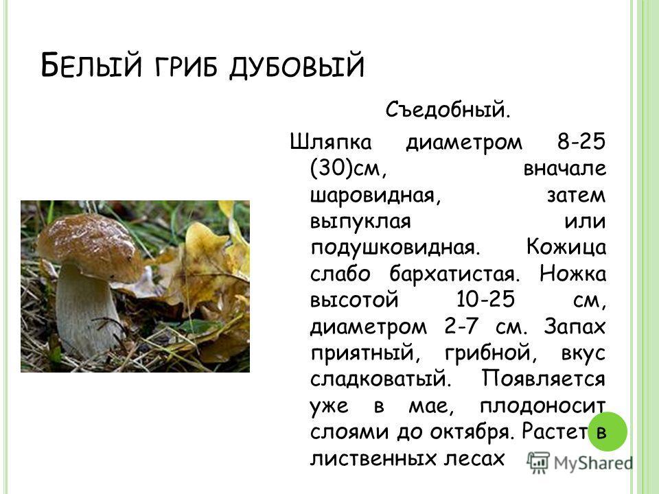 Б ЕЛЫЙ ГРИБ ДУБОВЫЙ Съедобный. Шляпка диаметром 8-25 (30)см, вначале шаровидная, затем выпуклая или подушковидная. Кожица слабо бархатистая. Ножка высотой 10-25 см, диаметром 2-7 см. Запах приятный, грибной, вкус сладковатый. Появляется уже в мае, пл