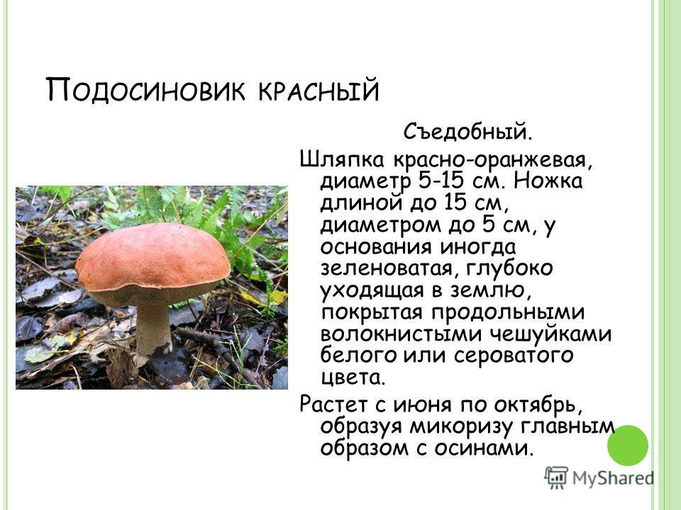 П ОДОСИНОВИК КРАСНЫЙ Съедобный. Шляпка красно-оранжевая, диаметр 5-15 см. Ножка длиной до 15 см, диаметром до 5 см, у основания иногда зеленоватая, глубоко уходящая в землю, покрытая продольными волокнистыми чешуйками белого или сероватого цвета. Рас