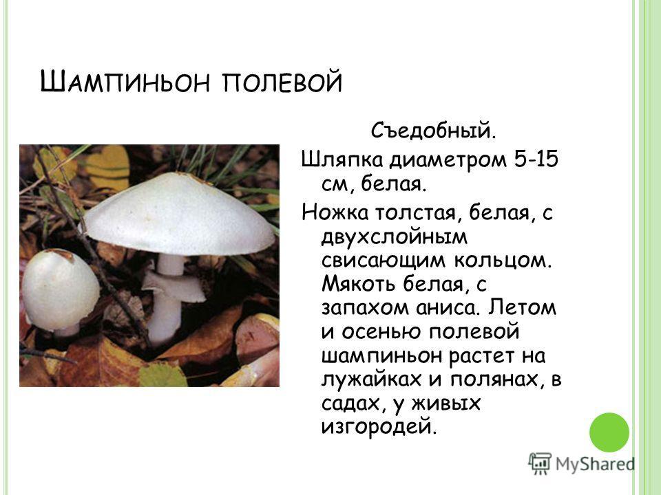 Ш АМПИНЬОН ПОЛЕВОЙ Съедобный. Шляпка диаметром 5-15 см, белая. Ножка толстая, белая, с двухслойным свисающим кольцом. Мякоть белая, с запахом аниса. Летом и осенью полевой шампиньон растет на лужайках и полянах, в садах, у живых изгородей.