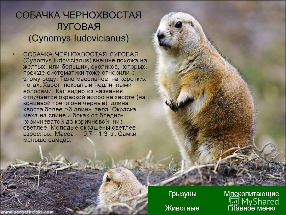 СОБАЧКА ЧЕРНОХВОСТАЯ ЛУГОВАЯ (Cynomys ludovicianus) СОБАЧКА ЧЕРНОХВОСТАЯ ЛУГОВАЯ (Cynomys ludovicianus) внешне похожа на желтых, или больших, сусликов, которых, прежде систематики тоже относили к этому роду. Тело массивное, на коротких ногах. Хвост,