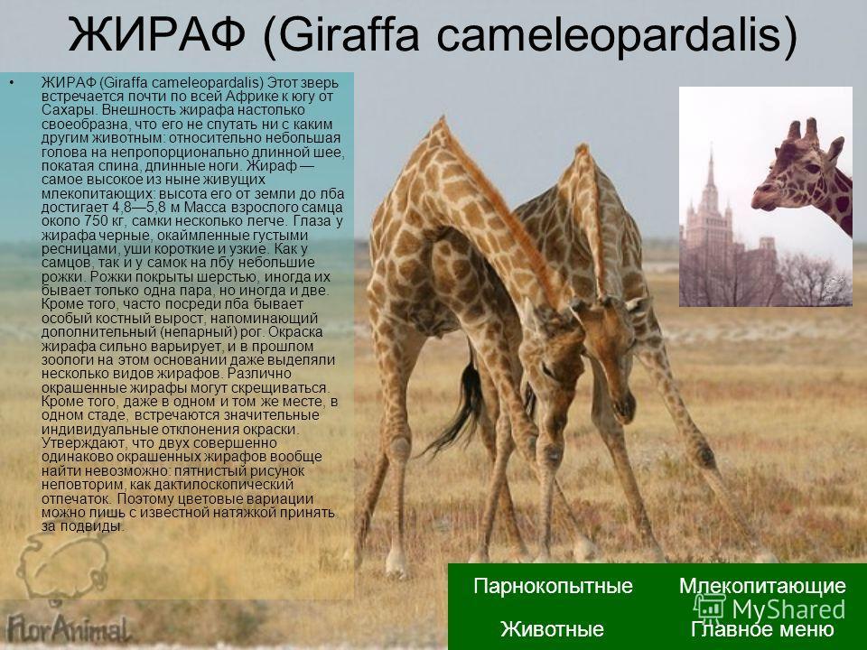 ЖИРАФ (Giraffa cameleopardalis) ЖИРАФ (Giraffa cameleopardalis) Этот зверь встречается почти по всей Африке к югу от Сахары. Внешность жирафа настолько своеобразна, что его не спутать ни с каким другим животным: относительно небольшая голова на непро