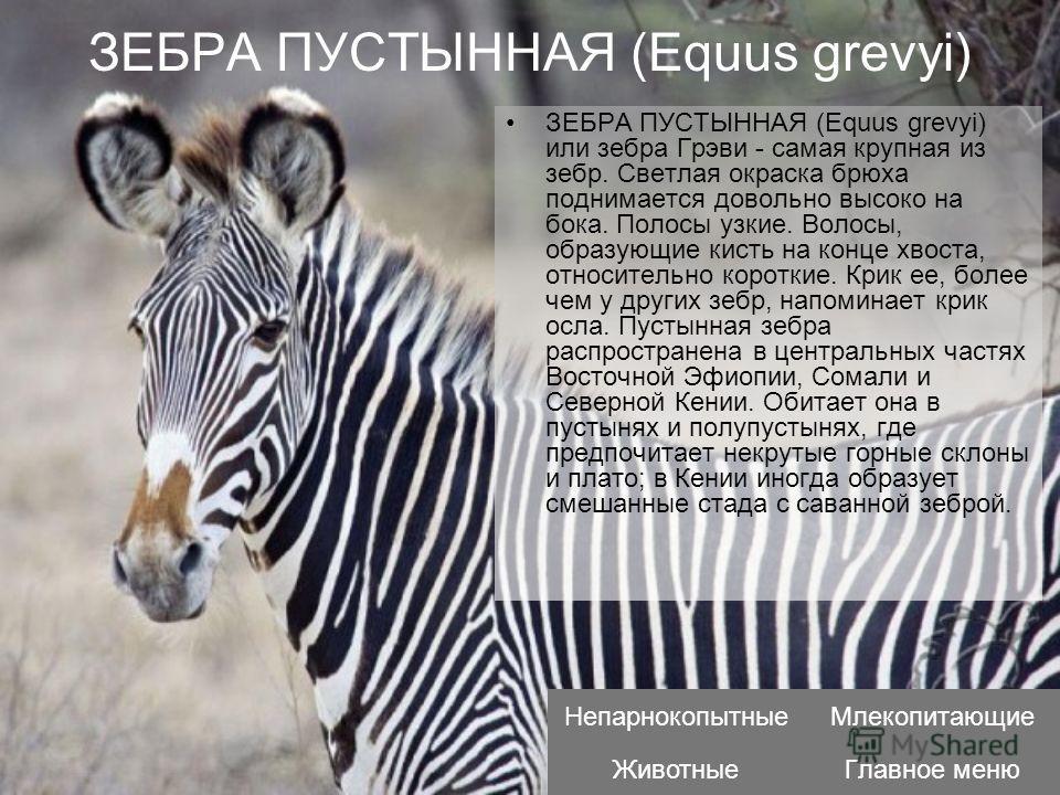 ЗЕБРА ПУСТЫННАЯ (Equus grevyi) ЗЕБРА ПУСТЫННАЯ (Equus grevyi) или зебра Грэви - самая крупная из зебр. Светлая окраска брюха поднимается довольно высоко на бока. Полосы узкие. Волосы, образующие кисть на конце хвоста, относительно короткие. Крик ее,