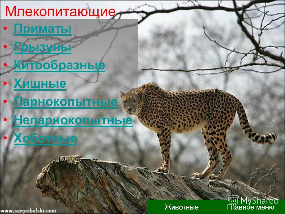 Млекопитающие Приматы Грызуны Китообразные Хищные Парнокопытные Непарнокопытные Хоботные Главное меню Животные