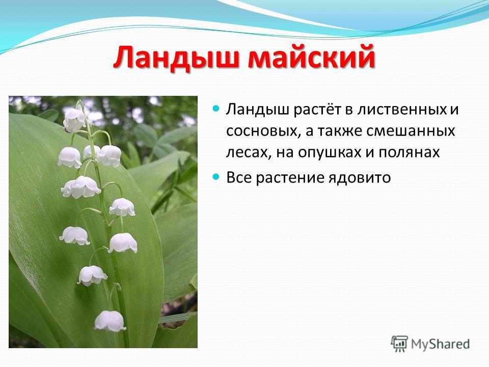 Ландыш майский Ландыш растёт в лиственных и сосновых, а также смешанных лесах, на опушках и полянах Все растение ядовито