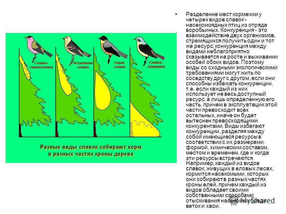 Разделение мест кормежки у четырех видов славок - насекомоядных птиц из отряда воробьиных. Конкуренция - это взаимодействие двух организмов, стремящихся получить один и тот же ресурс; конкуренция между видами неблагоприятно сказывается на росте и выж