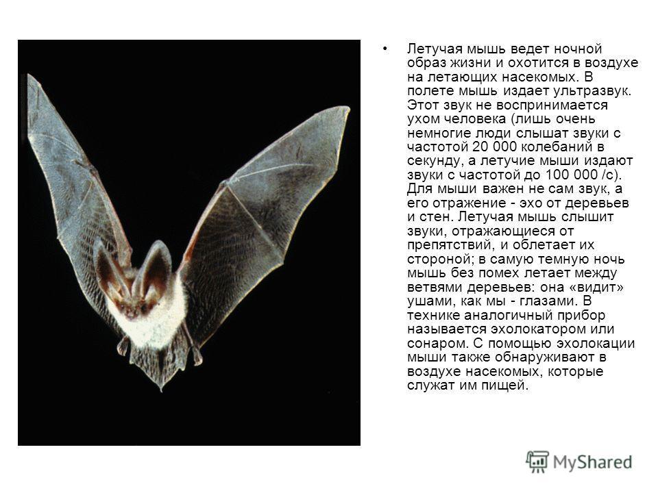 Летучая мышь ведет ночной образ жизни и охотится в воздухе на летающих насекомых. В полете мышь издает ультразвук. Этот звук не воспринимается ухом человека (лишь очень немногие люди слышат звуки с частотой 20 000 колебаний в секунду, а летучие мыши