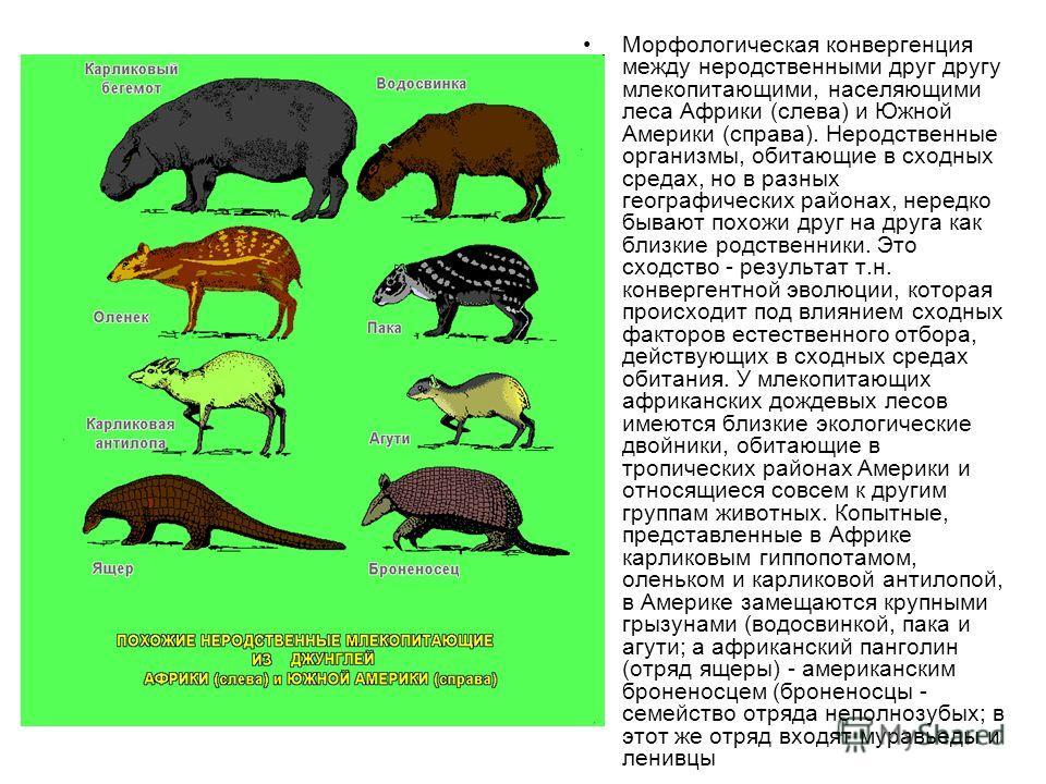 Морфологическая конвергенция между неродственными друг другу млекопитающими, населяющими леса Африки (слева) и Южной Америки (справа). Неродственные организмы, обитающие в сходных средах, но в разных географических районах, нередко бывают похожи друг