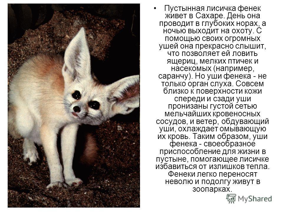Пустынная лисичка фенек живет в Сахаре. День она проводит в глубоких норах, а ночью выходит на охоту. С помощью своих огромных ушей она прекрасно слышит, что позволяет ей ловить ящериц, мелких птичек и насекомых (например, саранчу). Но уши фенечка -