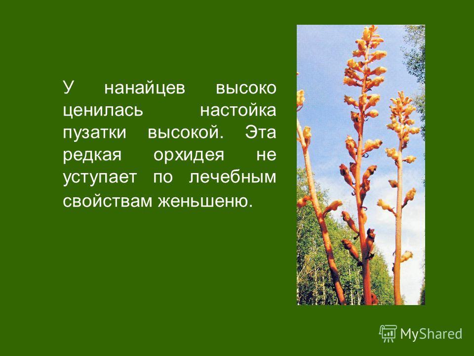 У нанайцев высоко ценилась настойка пузатики высокой. Эта редкая орхидея не уступает по лечебным свойствам женьшеню.