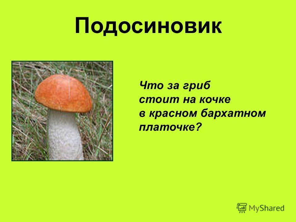 Подосиновик Что за гриб стоит на кочке в красном бархатном платочке?
